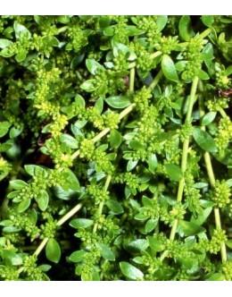 Herniaria glabra - kilavec, herniaria, pokrovnica
