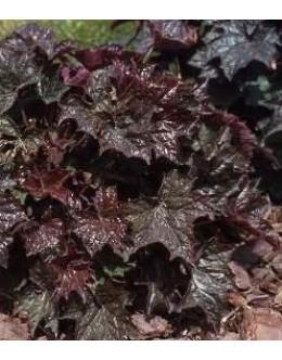 Heuchera americana 'Palace Purple'-rdečelistna iskrnica, hojhera