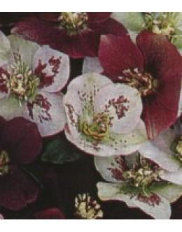 Helleborus orientalis hy. - križanci, orientalski teloh