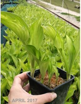 Hosta 'Variegata' (undulata) - skodrana pisana, srednja