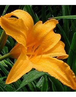 Hemerocallis 'Icy Orangeade' - zvezdasta maslenica