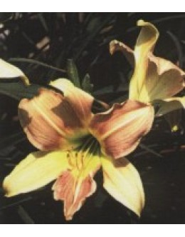 Hemerocallis 'Luxury Lace' - pisana maslenica