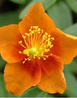 Helianthemum hy. 'Bronzeteppich' - oranžno sončece
