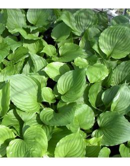 Hosta ventricosa - hosta, t.zeleni list, večja