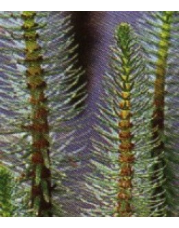Hippuris vulgaris - navadna smrečica