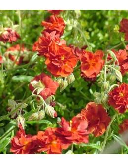 Helianthemum hy. 'Rubin' ('Amabile Plenum') -dvojni cvet, sončece