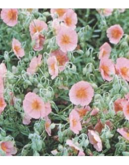 Helianthemum hy. 'Lawrenson's Pink'-roza enojni