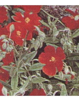 Helianthemum hy. 'Red Orient' - rdeči enojni