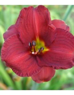 Hemerocallis 'Queen's Sprite' - temno rdeč manjši cvet, maslenica