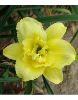 Hemerocallis 'Double Barrel' - polni velik cvet, maslenica