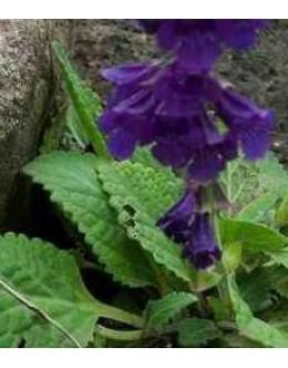 Horminum pyrenaicum - pirenejska zmajevka