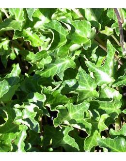 Hedera helix 'Ivalace' - zeleni kodrasti bršljan