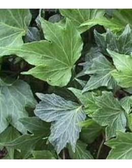 Hedera helix 'Green Ripple' - zelen, deljen, narezan list
