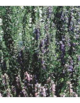 Hyssopus officinalis - ožepek, ižop, bel, roza, moder, zelo medi