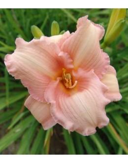 Hemerocallis 'Lady Kin' - enobarvna, manjši cvet, pocvitajoča maslenica