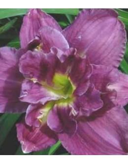 Hemerocallis 'Royal Eventide'-polni velik cvet, pocvitajoča maslenica