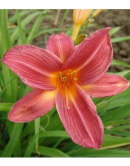 Hemerocallis 'Sleigh Ride'-enobarvna bogato cvetoča maslenica