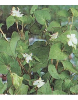 Houttuynia cordata - zelena hutujnija