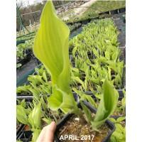 Hosta 'Aurea' (fortunei)- spomladi rumena, srednja