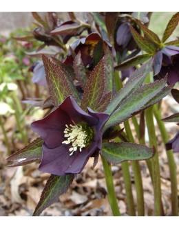 Helleborus orientalis hy.'Blue Lady' - orientalski teloh (lonec 13)