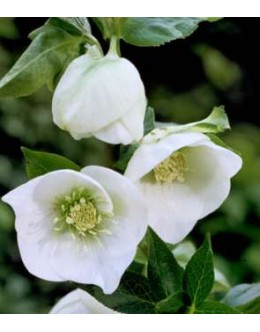 Helleborus orientalis hy.'White Lady' - orientalski teloh (lonec 13)