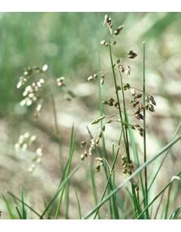 Hierochloe odorata - vanilijeva trava