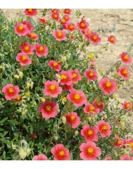Helianthemum hy. 'Lady Red' - svetlo rdeče enojno sončece
