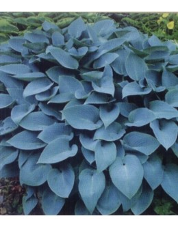 Hosta 'Halcyon' (tardiana) - sivomoder okroglast list, srednja