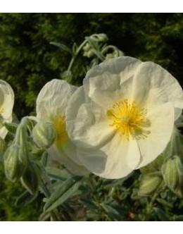 Helianthemum hy. 'Eisbar' - sončece, bel enostaven cvet, sivo listje
