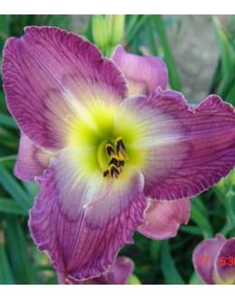 Hemerocallis 'Victorian Day' - večji c., sv grlo, pocvitajoča maslenica