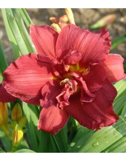 Hemerocallis 'Double Firecracker' - sred. dvojni cv, pocvit., dišeča maslenica