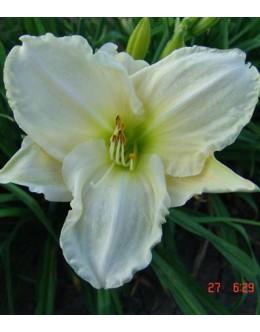 Hemerocallis 'White Temptation' - srednji cvet, bela, pocvitajoča maslenica