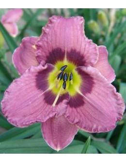 Hemerocallis 'Always Afternoon'- tem. rizba v grliu,velik cvet, pocvita