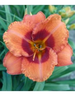 Hemerocallis 'Tigger'- rdeča rizba, srednji cvet, pocvitajoča maslenica