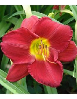 Hemerocallis 'Barman'- svetlo grlo, velik cvet, pocvitajoča maslenica