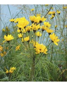 Helianthus salicifolius - vrbovolistna sončnica (velik lonec)