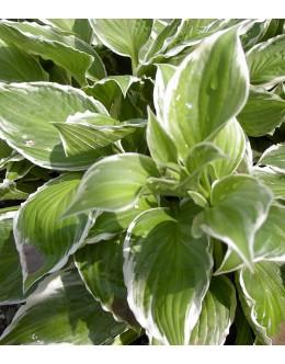 Hosta 'Mediovariegata' (undulata) - rahlo kodrasta belo-zelena, srednja