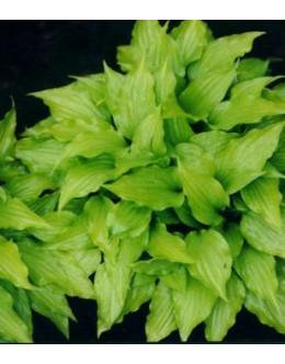 Hosta 'Feather Boa' - rumenozelen ozek list, mala