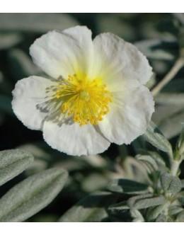 Helianthemum hy. 'Snow Queen' - sivo listje, bel cvet, sončece
