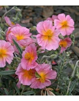 Helianthemum hy. 'Wisley Pink' - sivo listje, roza cvet, sončece