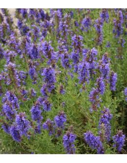 Hyssopus officinalis ssp. aristatus - ižop, ožepek, nadomestek za sivko na mrazu