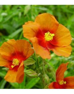 Helianthemum hy. 'Ben Heckla' - zelen list oranž cvet s t. okcem