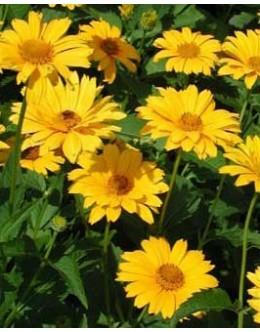 Heliopsis scabra 'Summer Sun' - sončničasti heliopsis, vrstnat