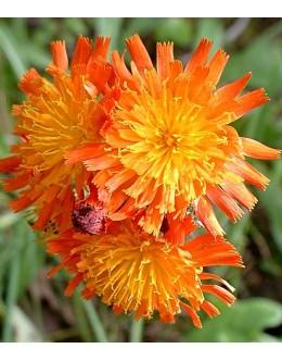 Hieracium aurantiacum - oranžna škržolica