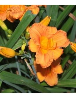 Hemerocallis 'Mambo Maid' - živo oranžen, mali cvet