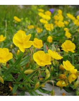 Helianthemum nummularium ssp.grandiflorum - velecvetni popon