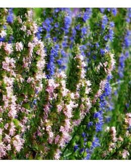 Hyssopus officinalis 'Mix Tricolor' - ižop, ožepek (roza, bel, moder)