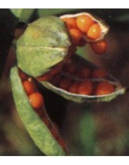 Iris foetidissima - smrdljivi iris