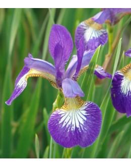 Iris sibirica 'Ottava' - zgodnja sibirska perunika