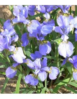 Iris sibirica 'Mountain Pool' - sibirska perunika